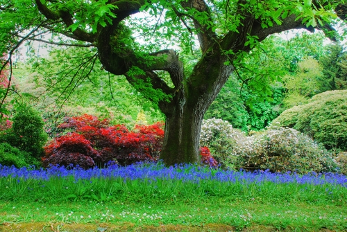 I have taken many pictures of this old photogenic tree in the gardens of Mount Congreve, Kilmeaden, County Waterford. I thought it looked rather special with the row of bluebells. I used a slow shutter speed which captured some movement and more blue for the bluebells.
