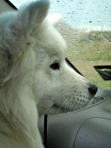 This is my Samoyed, Cindy, sitting in the car waiting for the rain to stop so she can have her walk. Her mother, Kimmy, is sitting in the back of the car, also waiting.