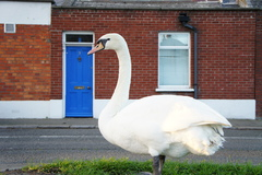 Shot of Swan popping out of the Grand Canal for a walk along the road.