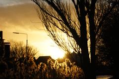 Golden Reeds beside the Grand Canal