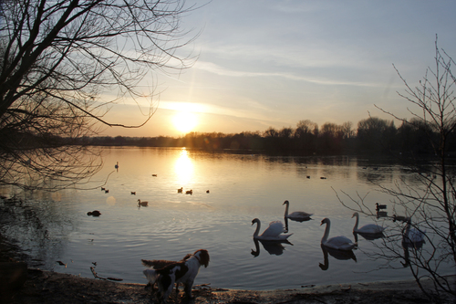 @ Rickmansworth Aquadrome just to get the last few rays of Sun but seeing the dogs near the edge of the lake the swans started to gang up on them so though the shot is not as good as real time both were in a stand off, I like the way the Sun bounces off the water and the mud on the shore line