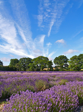 Mini_120320-174521-1_-_lavender_field_1