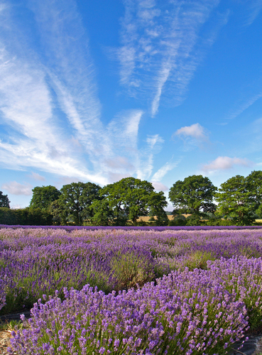 Rows of varieties of English Lavender ripening in the summer sun near Selborne in Hampshire.