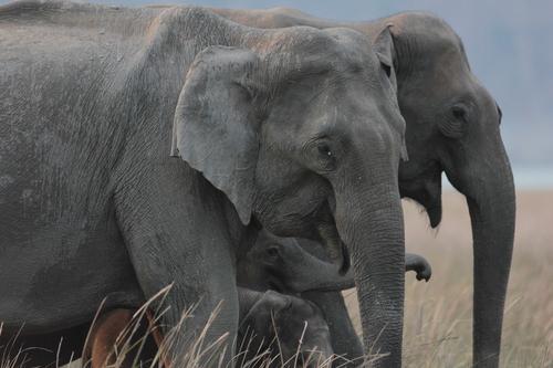 Elephant Family taking their evening stroll at Dhikala, Corbett NP