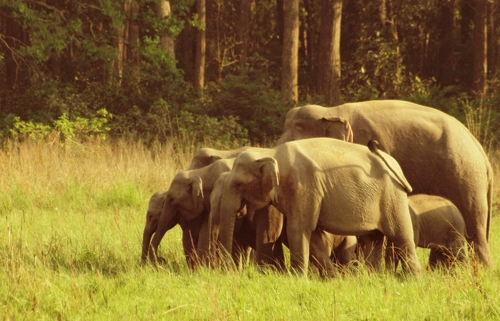 Captured this family of elephants in Dhikala, Corbett National Park. They were being very wary of a few Rangers jeeps that were taking their photos so the Mom herded them together.