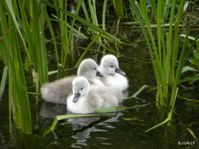 Mini_120524-153614-cygnets_get_piggy_back_ride__on_the_17_of__may_11_394-1