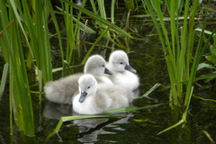 photo taken on the saint clare river in the heart of galway , the cygnets are just over a week old and they are part of the famous claddagh swans, i showed the photos in some schools and not alone did the children go crazy for them but the parents loved them also