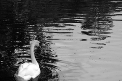 A swan swimming on the lake located in Kilkenny Castle Park.