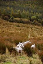 Mini_120901-121100-sheep