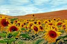 Mini_120904-191608-girasoles