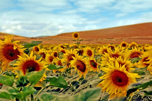 I was overawed by the miles and miles of fields full of sunflowers on the road to Cordoba