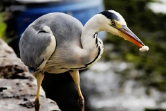 Taken at Claddagh Galway where this friendly Heron came over for some bread for breakfast.