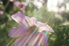 Shot of wind blowing petals while manipulating the focus the give an ethereal like flare.