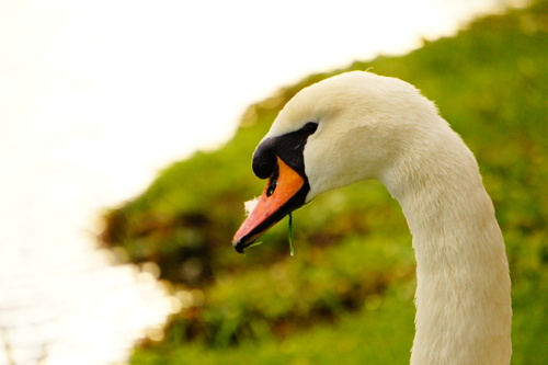 Close up of one of the many swans that live around the Grand Canal Dublin.