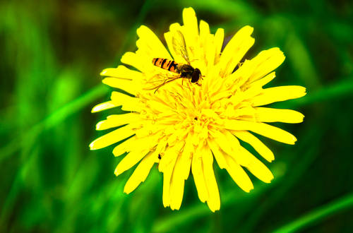 Shot of Hoverfly perfectly still on a Dandelion