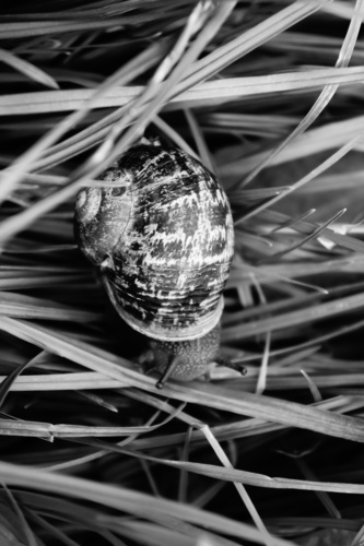 Snail in Grass Black & White