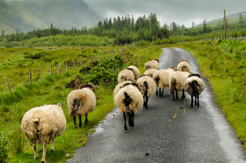 Photographed along the majestic road to Tawnyard, between heavy bouts of rain.  The sheep, which had been grazing by the side of the small one lane road didn't seem to mind the rain, but they were very eager to get away from me.