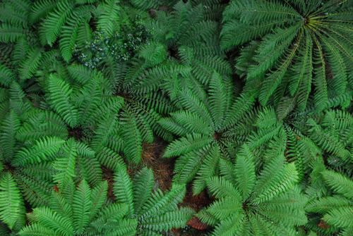 A collection of ferns seen from above on the Otway Fly tree-top walk.