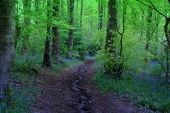 The Bluebell walk in the Mountain Grove, Piltown County Kilkenny, Ireland.