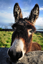Mini_irish_donkey..