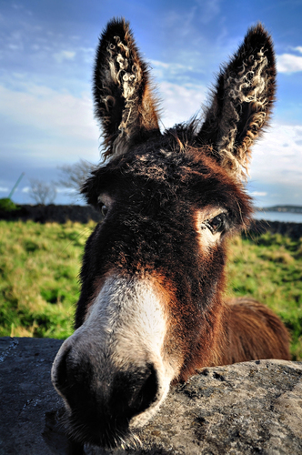 Friendly donkey in Kilronan, Inishmore