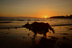 Dog shaking his coat on the beach at Salthill at sunset.