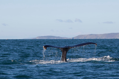 Humpback Whale tail off Baltimore, west Cork.