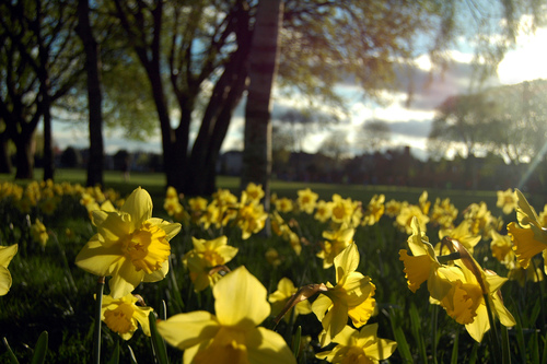 Beautiful spring daffodils in Herbert Park.
