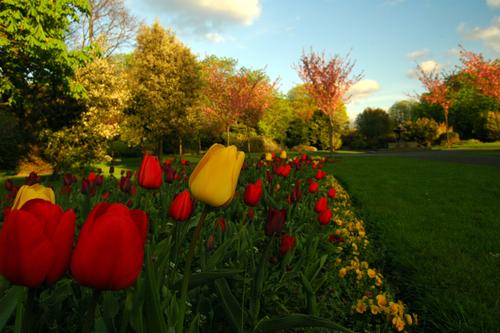 Tulips in Herbert Park.