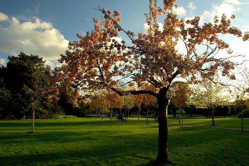 Herbert Park tree