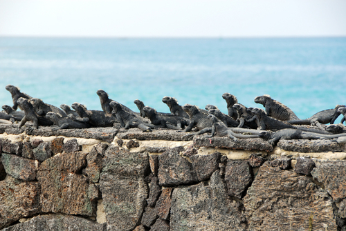 Marine Iguanas warming themselves on a stone wall.