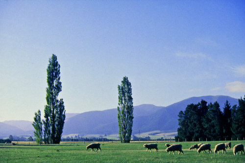 Early autumn view of sheep grazing the the Canterbury Plains beneath Mt Thomas in New Zealand's South Island