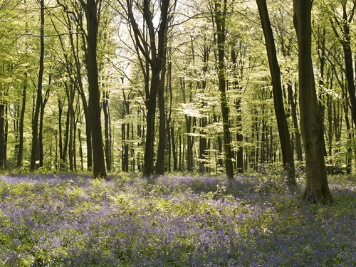 Back-lit view of the Blue-bells and beech trees of Micheldever Wood near Winchester in Hampshire, England.