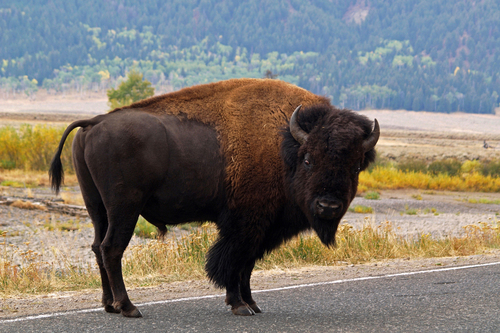 A lone Bison wandering along the road in the Lamar valley in Yellowstone National Park, Wyoming.