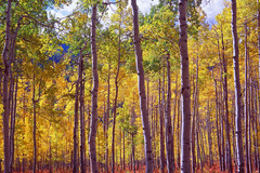 A stand of golden coloured aspens close to their peak near the summit of Owl Creek Pass in the San Juan Mountains of south western Colorado.