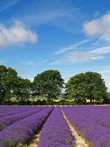 Rows of English Lavender ripening in the summer sun near Selborne in Hampshire, England.