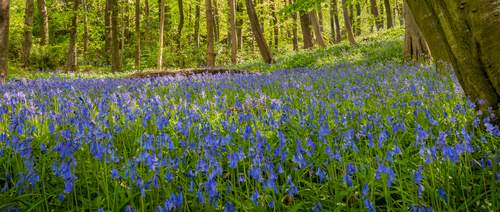 Best place in Antrim for bluebells...Portglenone Forest