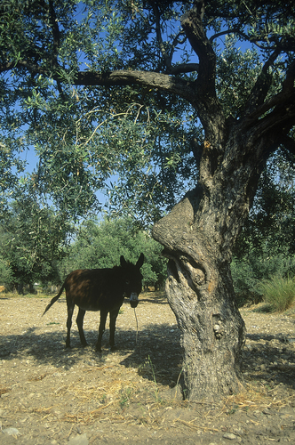 A donkey takes shelter from a helpful olive tree in the afternoon heat of the day in early summer in Cyprus.