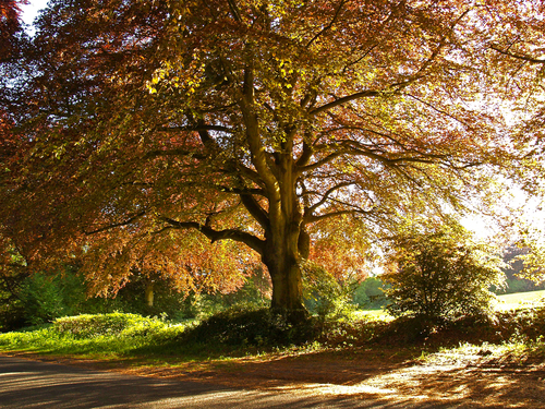 A majestic copper beech in full leaf backlit by the early evening sun in late May near west Meon in central Hampshire.