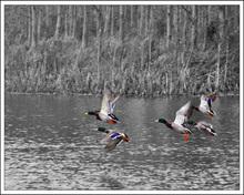 Mini_130311-211455-ducks_in_flight_black_whitefor_print