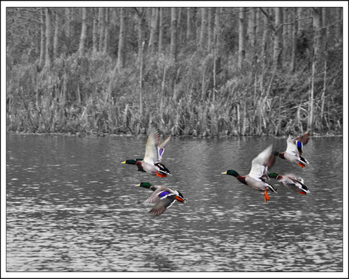 Ducks in flight off Dunmurry Pond