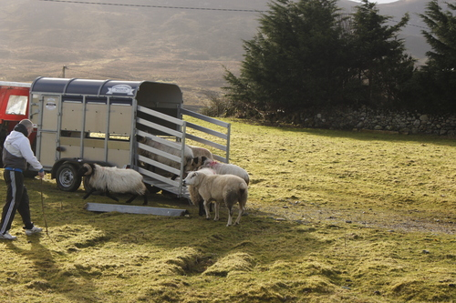 Rounding up sheep with Sheepdog