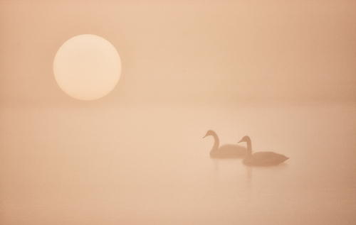 Whooper Swans in the early morning mist.