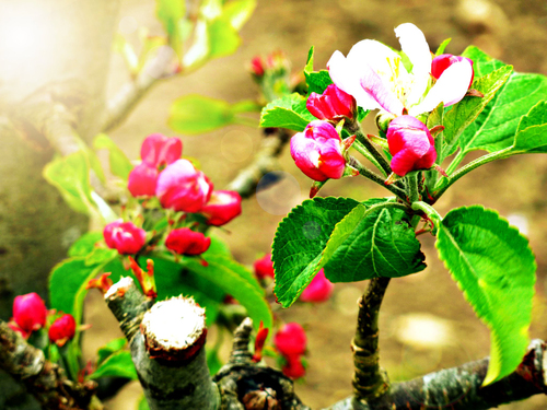 Apple Blossoms in Spring, Flowers, apple tree, white