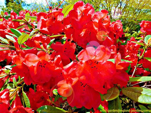 Red Azalea in Spring. Bushes, flowers, beautiful.