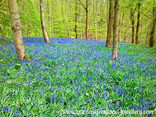 Bluebell Forrest in Springtime, Elham, Kent, United Kingdom