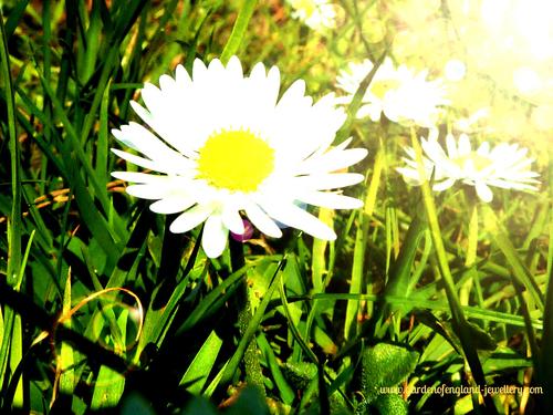Daisies in springtime, white, green, yellow, grass