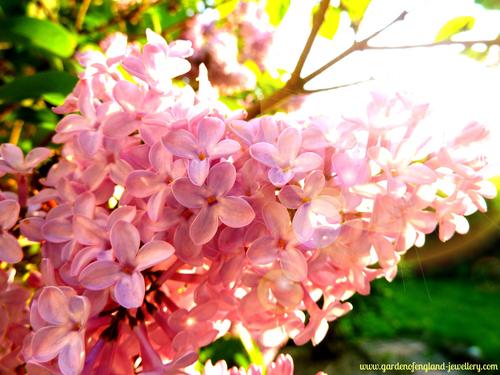 Beautiful lilac in the evening sun