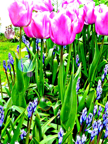 Tulips and Bluebells in a spring bed, purple, green, blue