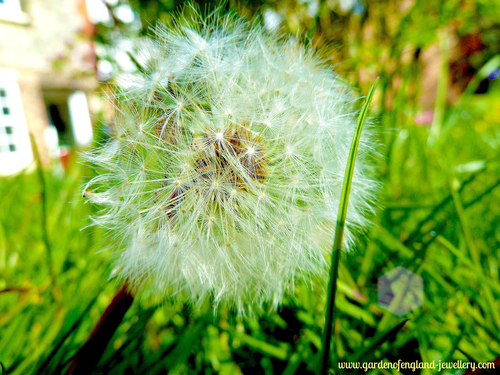 Dandelion in the grass, white, green